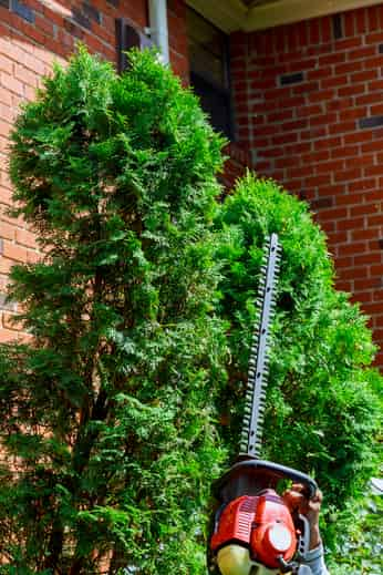 Gardener using hedge trimmer on bushes near a brick wall